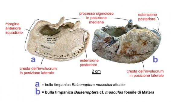 paleontologia, fossili, evoluzione, gigantismo, balene, fanoni, misticeti, balena di Matera
