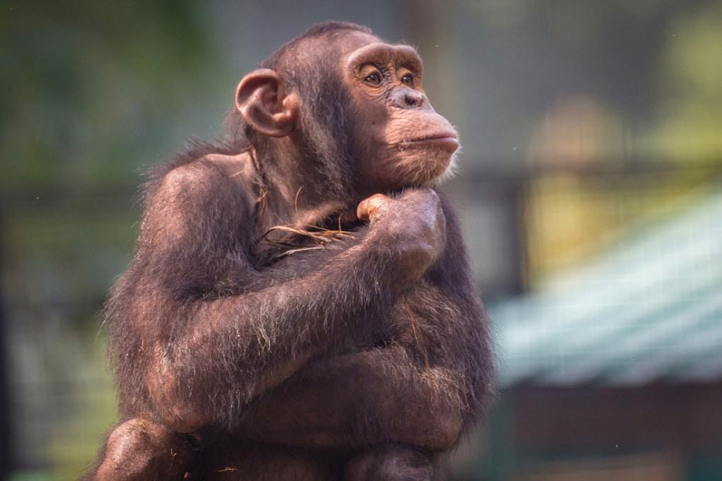 Gli scimpanzé giocano a memory (quasi) come noi
