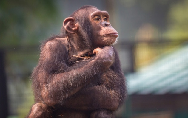 memoria-scimpanze_shutterstock_748709539