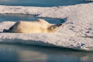 orso, ghiacci polari, artico