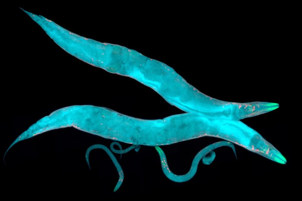 Un mix di farmaci ha raddoppiato la durata della vita nei vermi nematodi