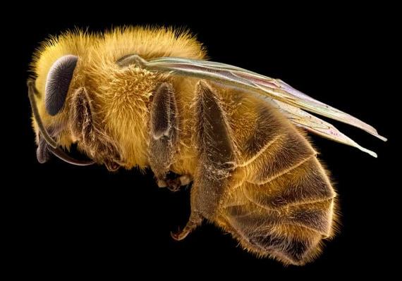 Wellcome Images, api, Apis mellifera, pesticidi, insetti impollinatori, biodiversità