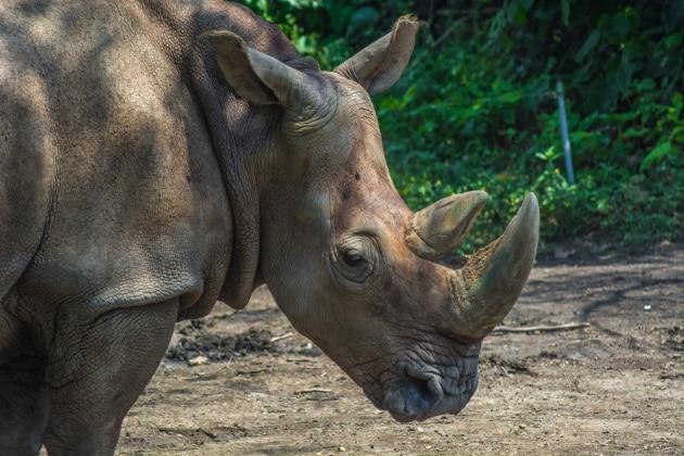 È morto l'ultimo maschio di rinoceronte di Sumatra in Malesia