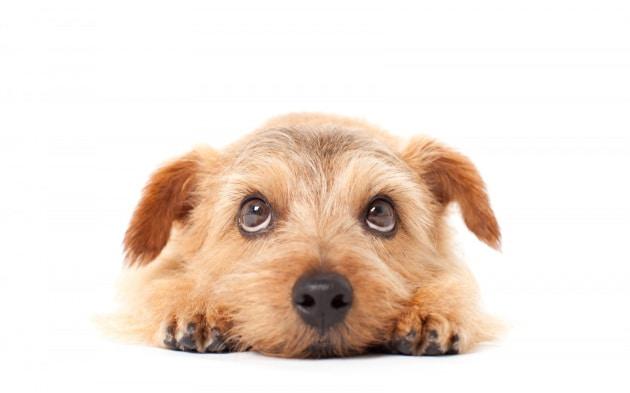 Non sapete resistere allo sguardo del vostro cane? La colpa è dei nostri antenati