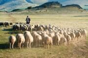domesticazione-capre-pecore