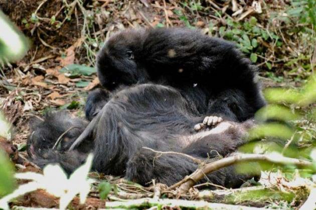 I gorilla manifestano il lutto quando muore qualcuno?