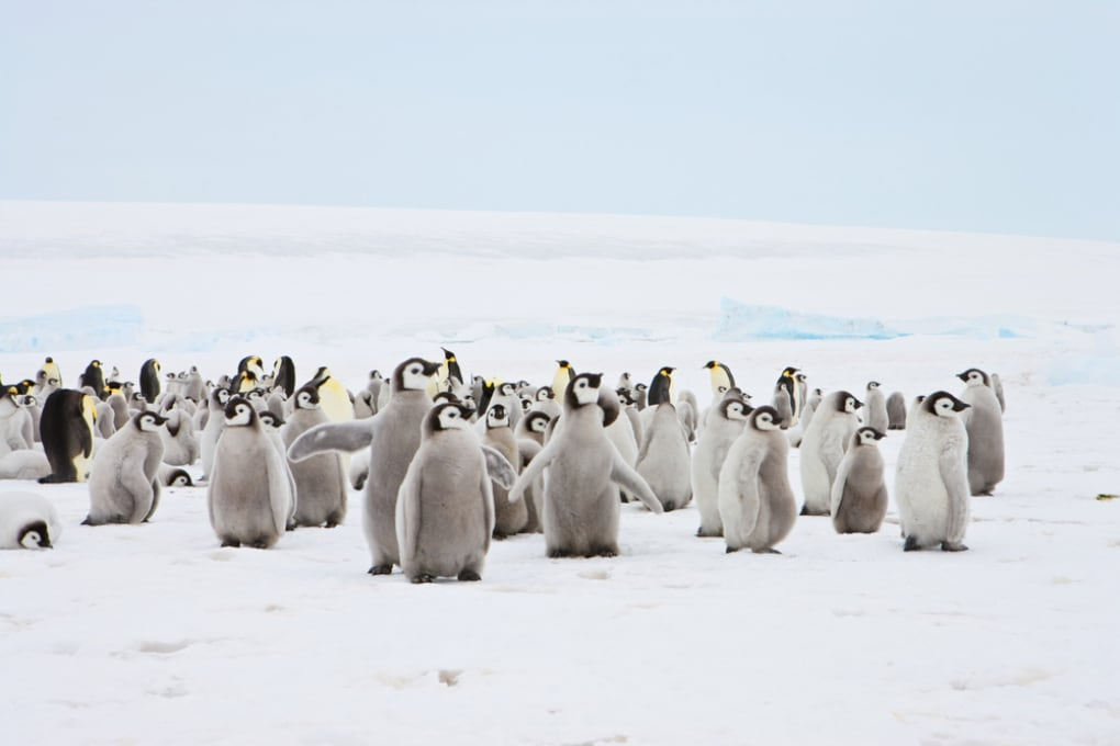 Antartide, cancellata la seconda più grande colonia di pinguini imperatore