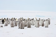 pinguini-pulcini