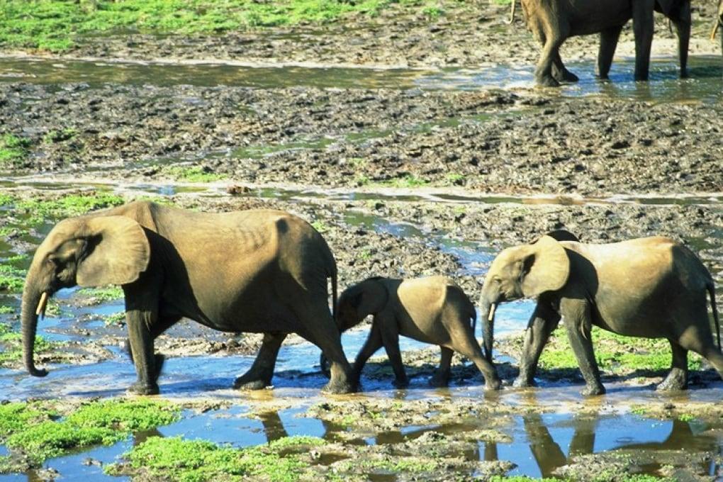 World Elephant Day - Andrea Turkalo, la Signora degli Elefanti