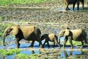 elefanti-di-foresta