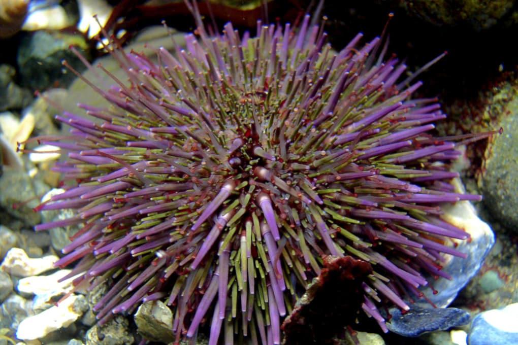 I ricci di mare viola e le foreste di alghe kelp