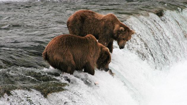 Webcam: il fast food degli orsi
