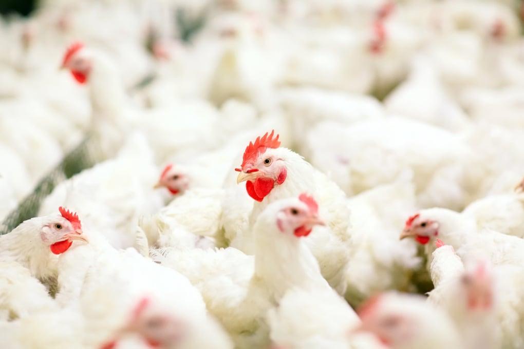 Cosa resterà della nostra civiltà? I polli