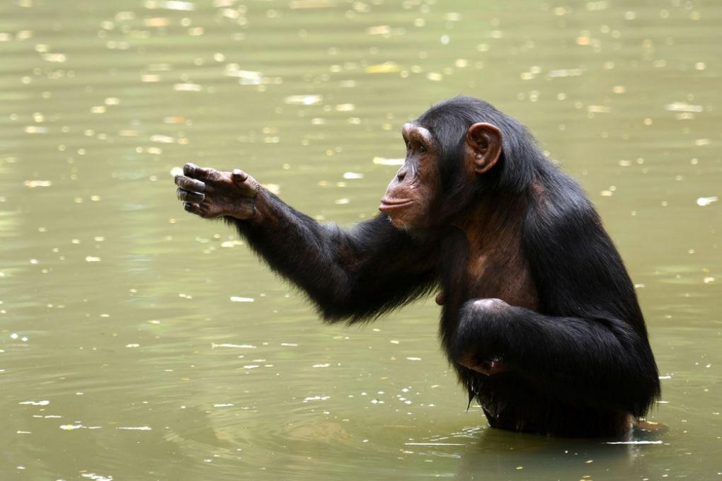 La pesca al granchio degli scimpanzé