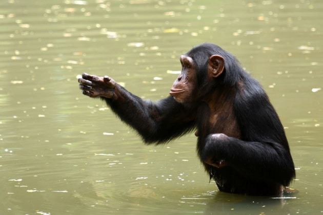 scimpanze-pescatore