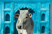 8 cose che (forse) non sai sulle vacche sacre dell'India