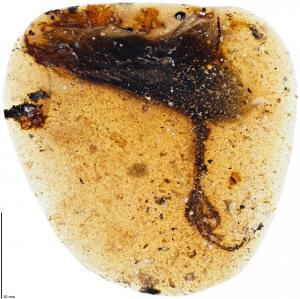 ambra: il fossile di Elektorornis chenguangi