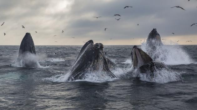 Balene: la pesca delle megattere
