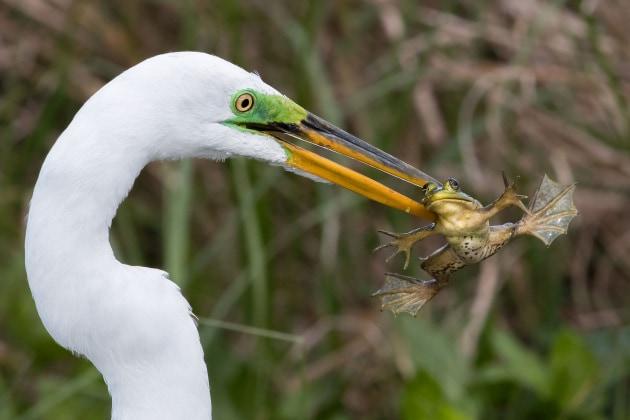 Audubon Photography Awards, dieci foto di uccelli che si preparano il pranzo