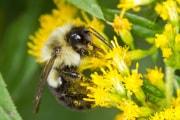 bombi-polline-dieta