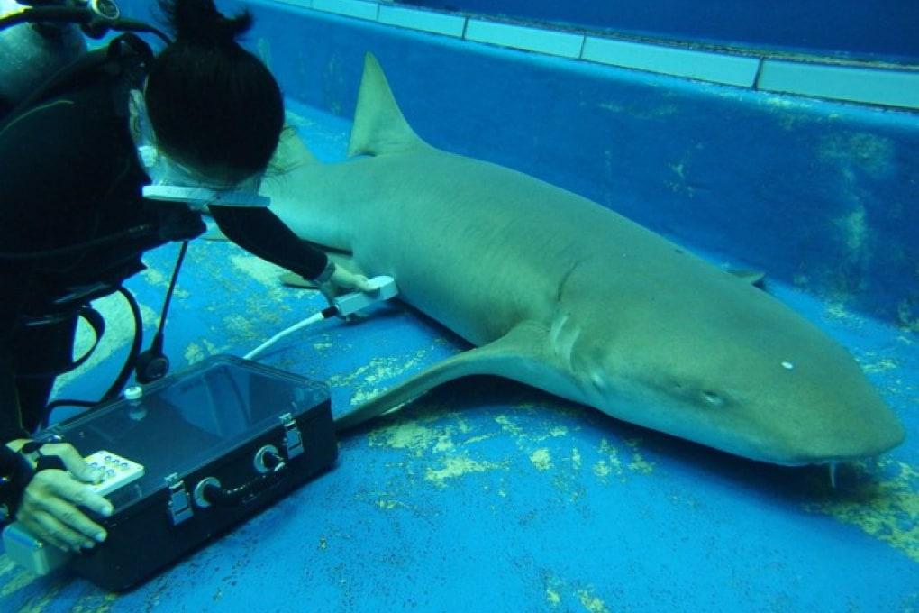 Gli embrioni di squalo nuotano nell'utero materno. A caccia di cibo
