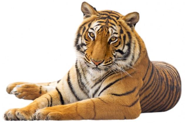 tigre_shutterstock_186295301
