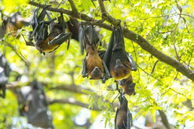 Scoperto un nuovo genere di virus collegato ad Ebola nei pipistrelli della frutta