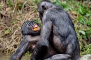 bonobosessokamasutra