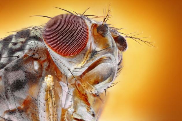 drosophila-close-up