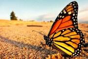 farfalle-monarca