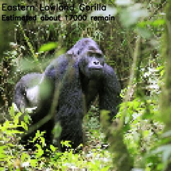 gorilla di pianura orientale (<i>Gorilla beringei graueri</i>)