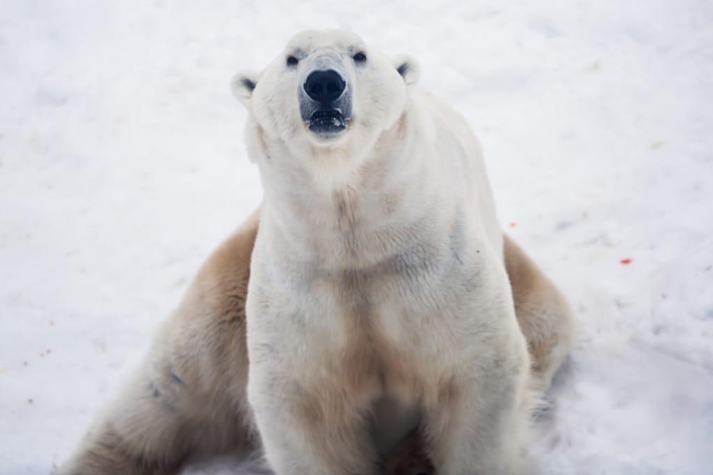 Manca il ghiaccio marino, invasione di orsi polari in un arcipelago russo