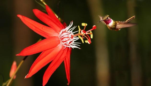 Le piante sentono gli impollinatori e usano i fiori come orecchie