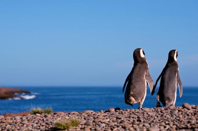pinguini-magellano