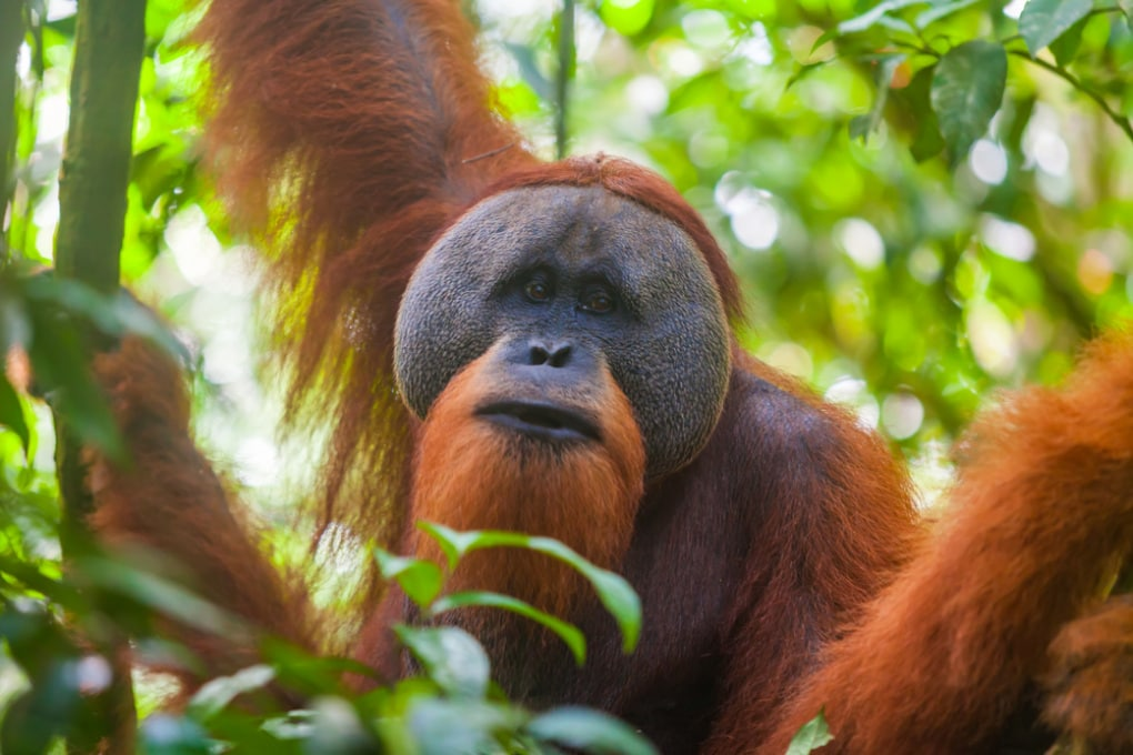 Pesca con uncino: gli oranghi battono i bambini