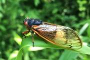 la-cicala-e-il-fungo-parassita