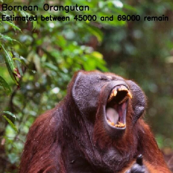 orango del Borneo (<i>Pongo pygmaeus</i>)