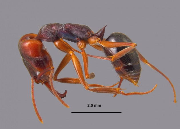 La puntura della formica