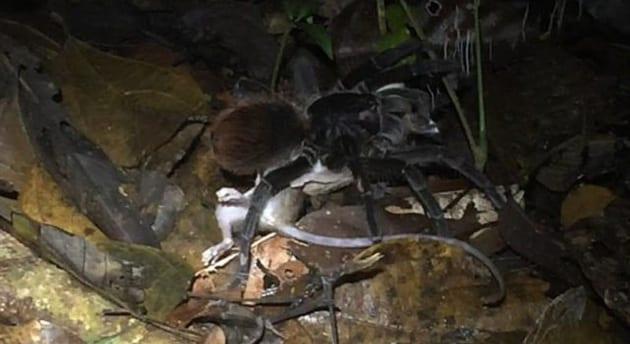 Il primo video di una tarantola che divora un opossum