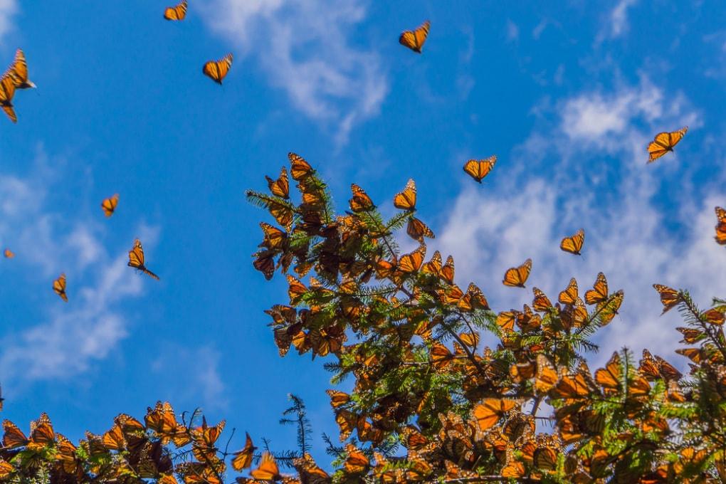 Le farfalle monarca allevate per evitare l'estinzione perdono l'orientamento