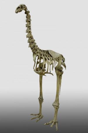 uccelli giganti: moa, Dinornis robustus