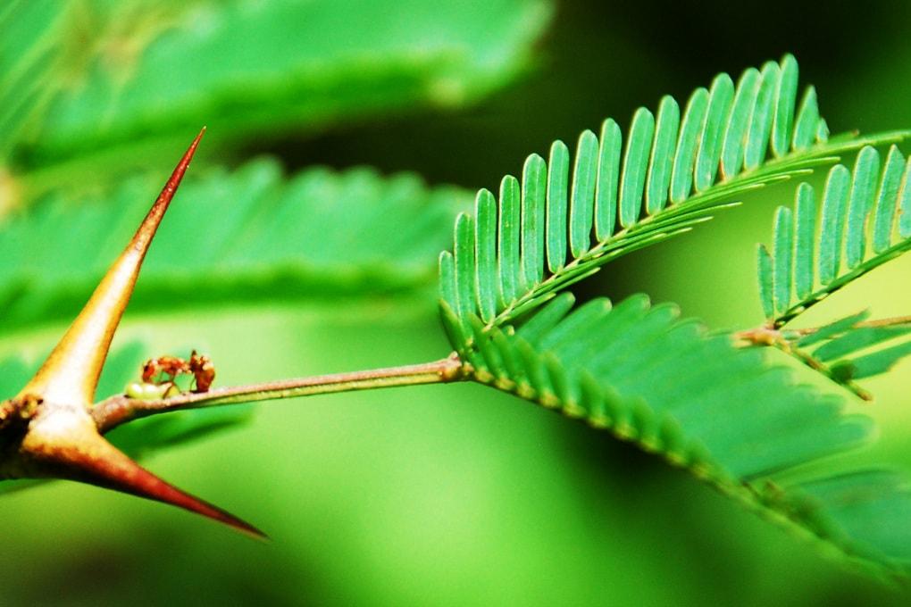 Piante e formiche: come le prime si sono evolute per schiavizzare le seconde