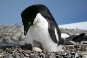 pinguinoadelianasa