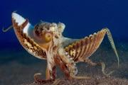 polpo-conchiglia