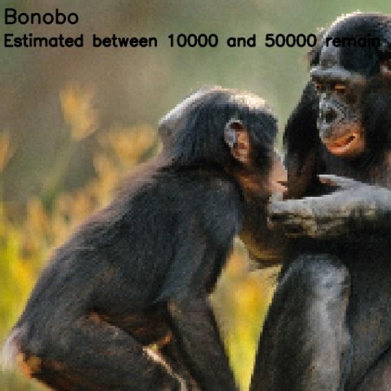 bonobo (<i>Pan paniscus</i>)
