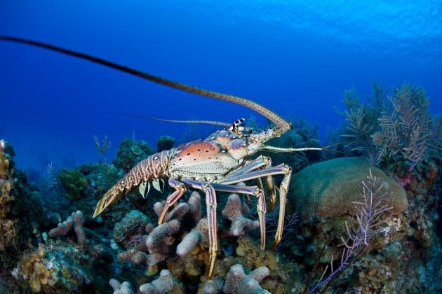 Il ventre dell'aragosta è resistente come la gomma degli pneumatici