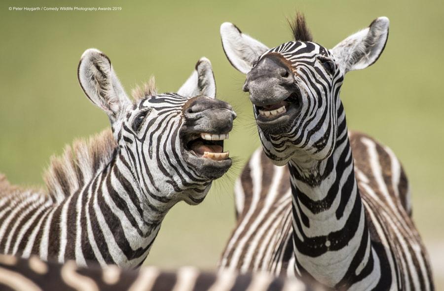peter-haygarth_laughing-zebra_00003642