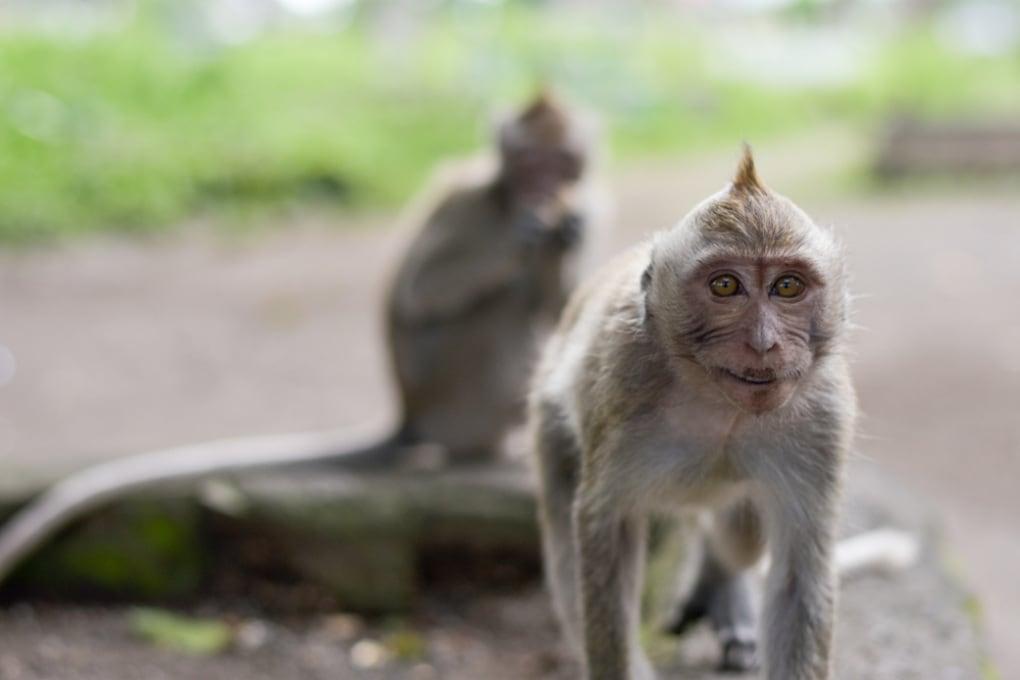 La prima clonazione di macachi geneticamente modificati con la tecnica CRISPR