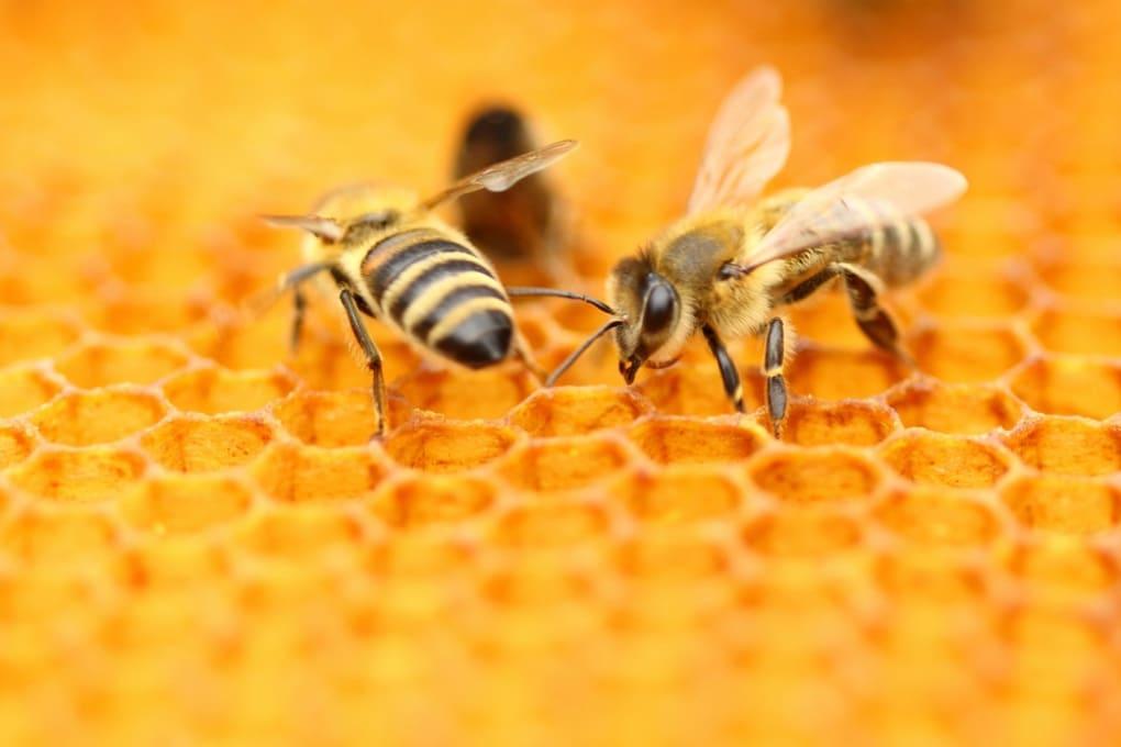 Quattro genitori, nessuna madre, per metà maschi e per metà femmine: le api nascono pronte a tutto