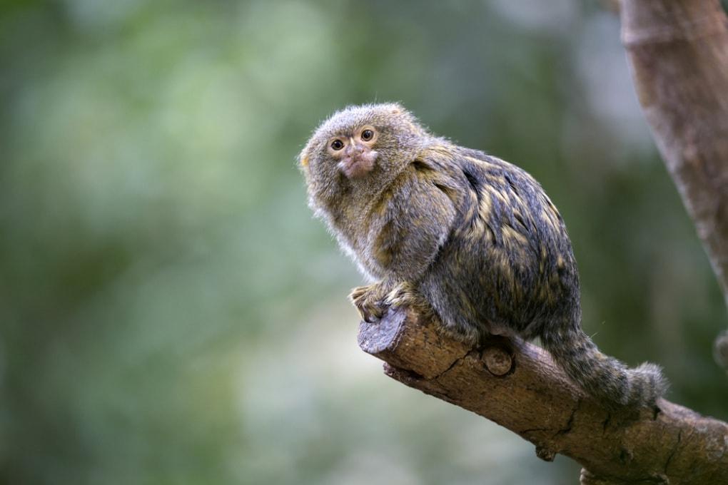 La scimmia (fossile) più piccola del mondo